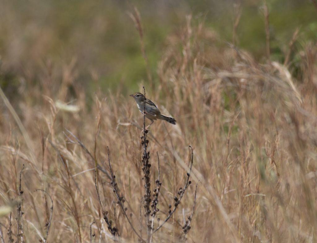 Che uccello è? Beccamoschino (Cisticola juncidis)