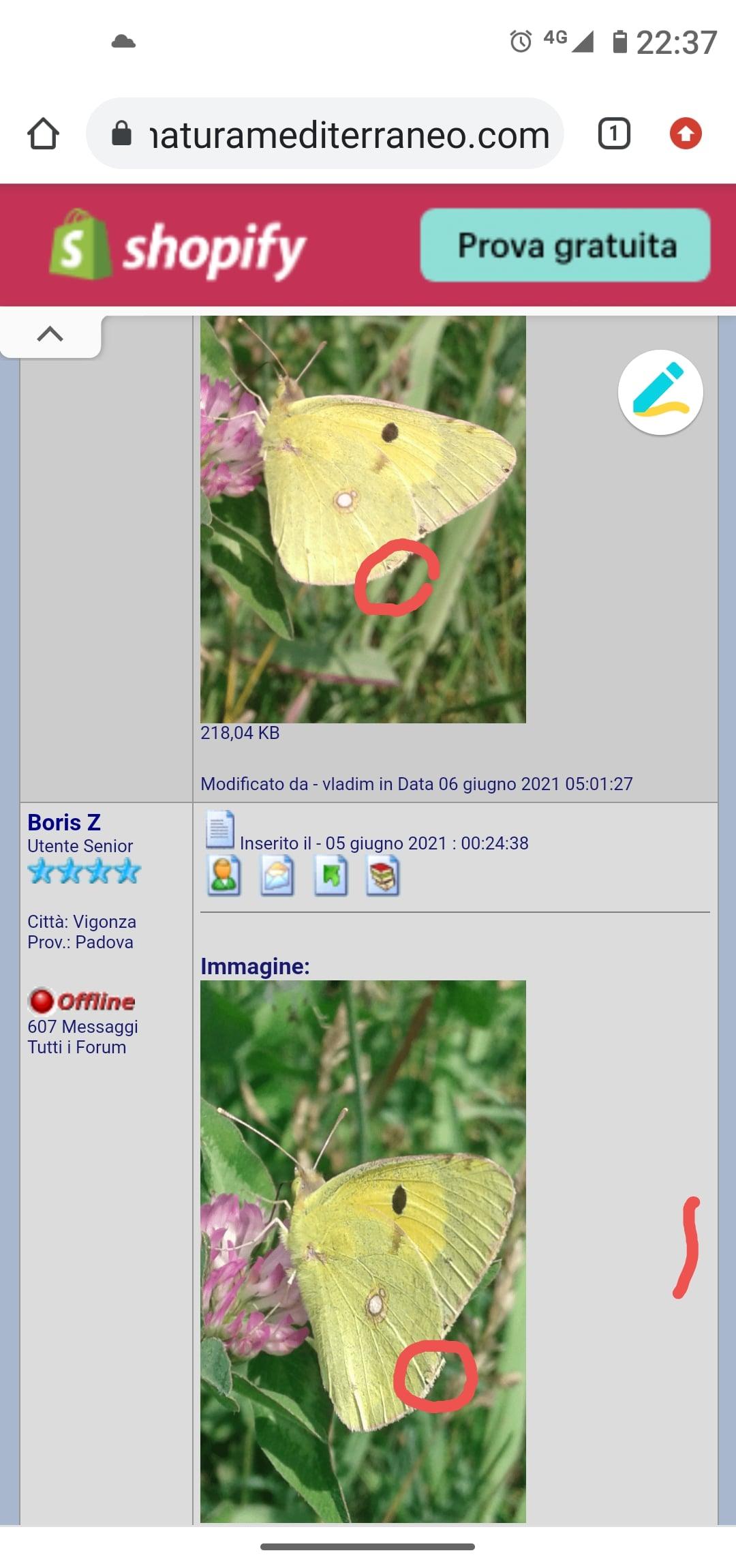 Quale Colias (Pieridae)?  Colias alfacariensis