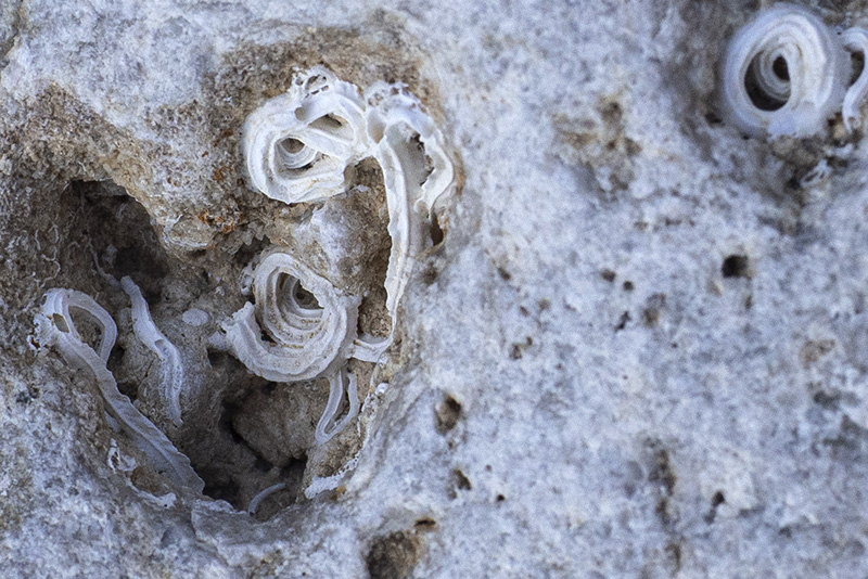 Strutture calcaree di spirobranchi?