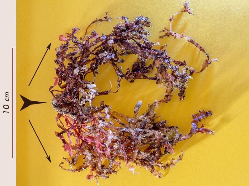 Phyllophora crispa - Mareggiata14Dic - S3