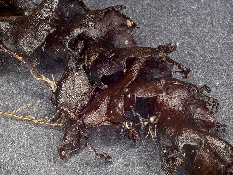 Osmundaria volubilis - Mareggiata 14Dic - S2