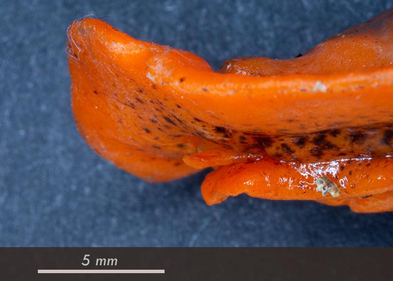 Platydoris argo - Mareggiata 14Dic - SA1