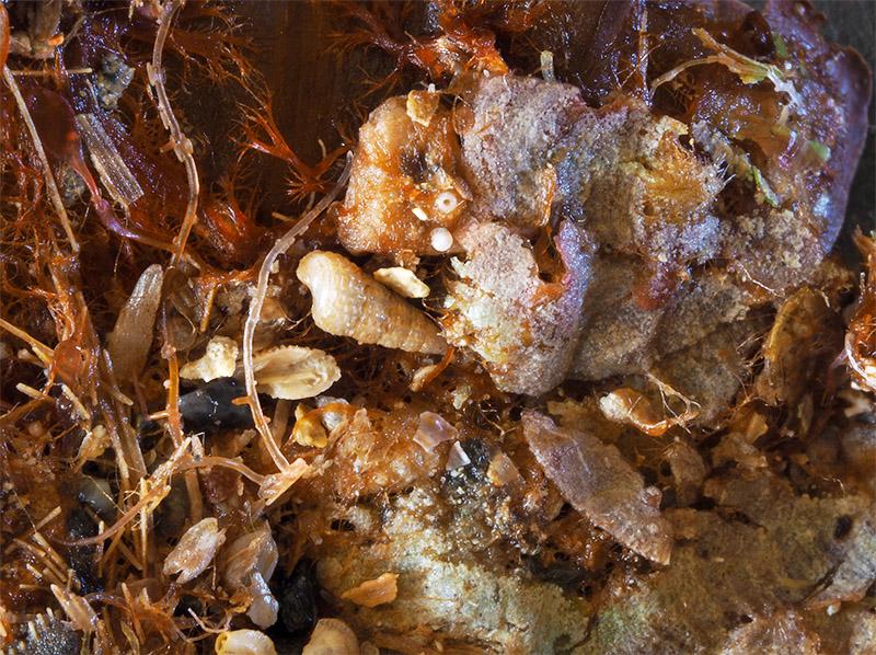 Peyssonneliaceae - Mareggiata14Dic - S6