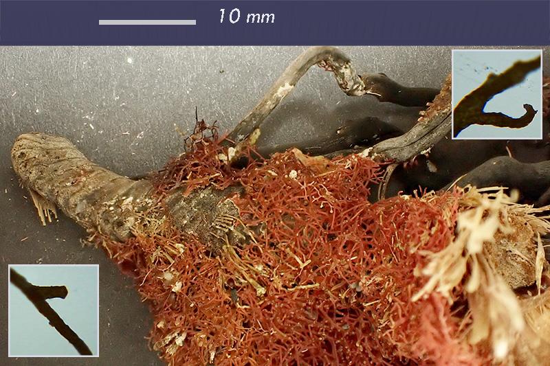 Epifita rizoma Posidonia o. - Mareggiata Dic2019 - S10