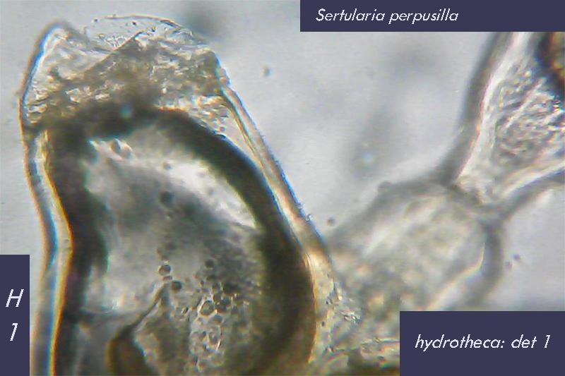 Sertularia perpusilla (?) - Mareggiata Dic.2019 - SA4