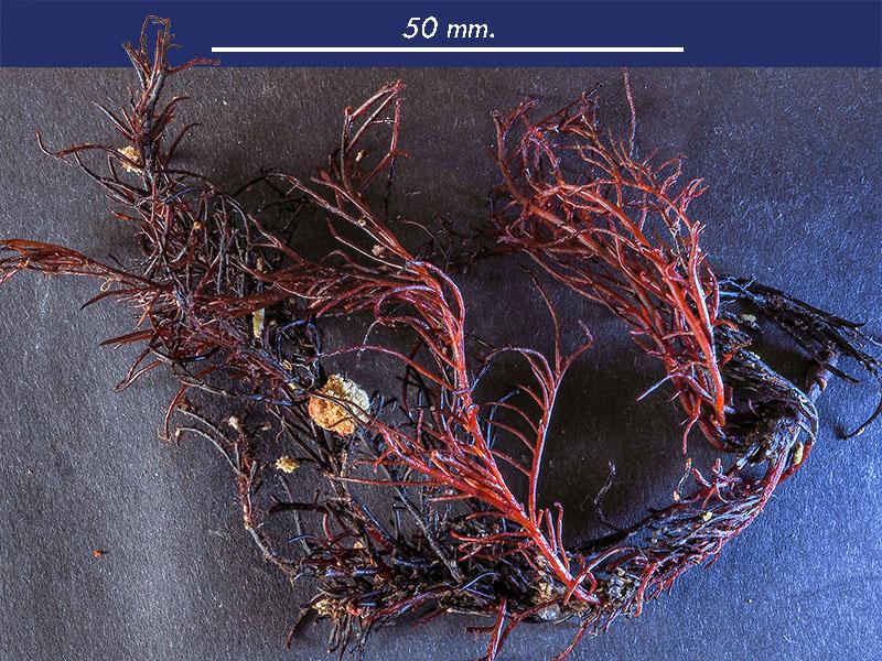 Chondracanthus acicularis - Mareggiata Dic2019 - S12