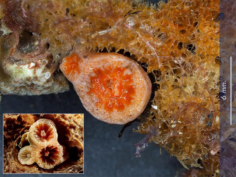 Coralliti di madrepora - Mareggiata Dic.2019 - SA10