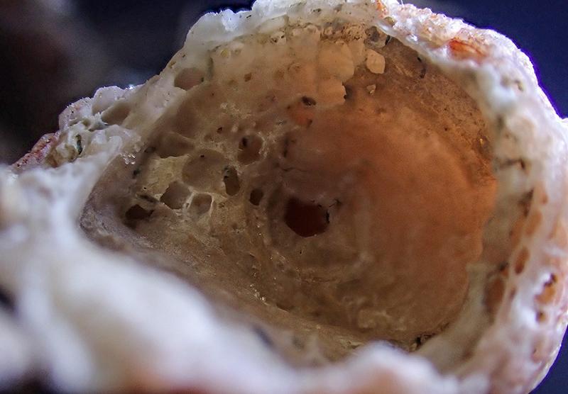 Schizobrachiella sanguinea - Mareggiata Dic.2019 - SA 11