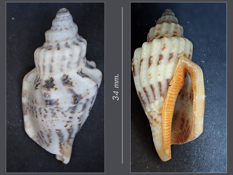 Gasteropode 1 (?) - Mareggiata Dic.2019 - G1