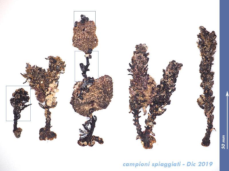 Cystoseira sp - Mareggiata 14 Dic 2019 - S8