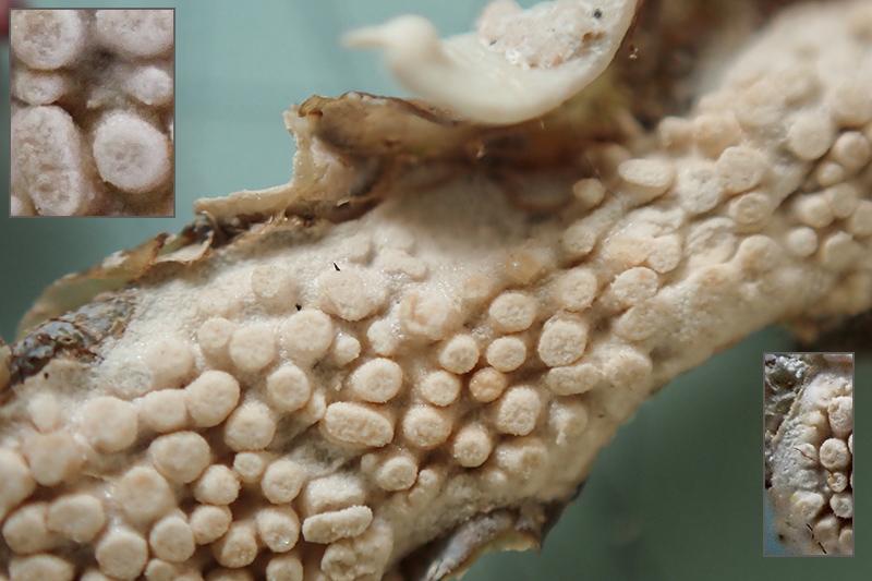 corallinales di Phillophora c. - MareggiataDic2019 - S14