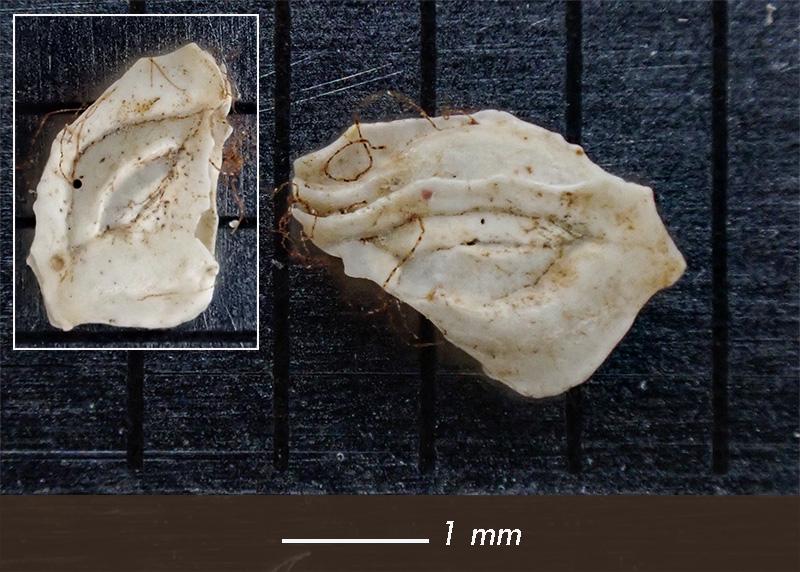 Foraminifero - Mareggiata Dic.2019 - F3