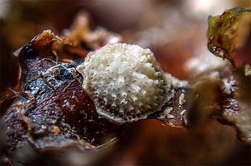 Patinella radiata epifita - Mareggiata Dic2019 SAB7