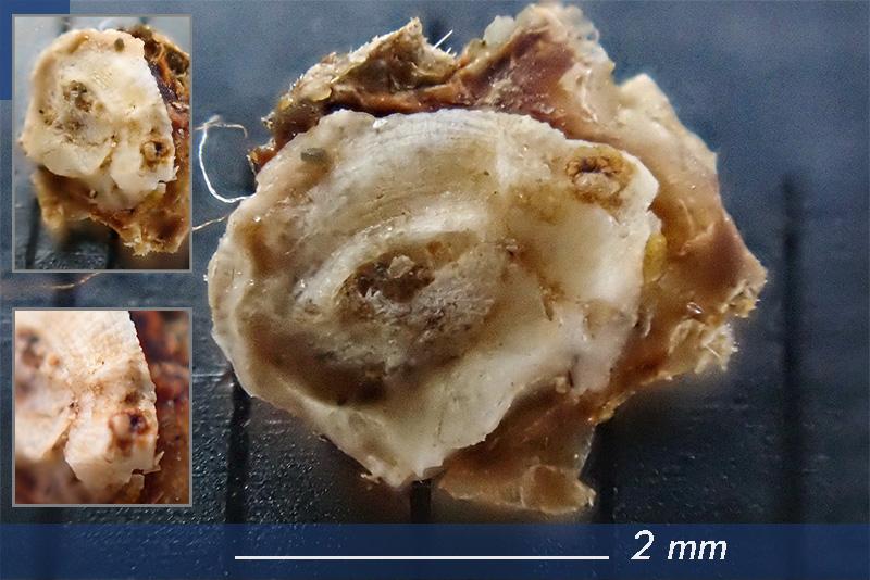 Foraminifero - Mareggiata Dic2019 - F5