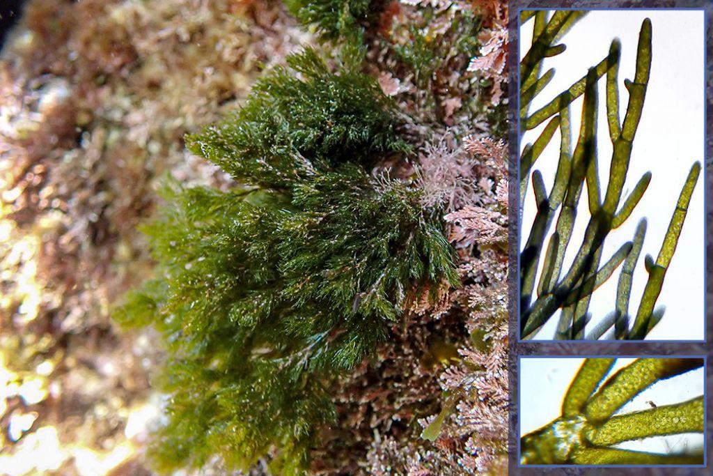 Cladophora ... prolifera?