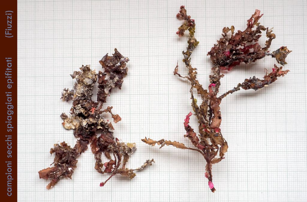 Phyllophora crispa: da proliferazioni ad epifiti