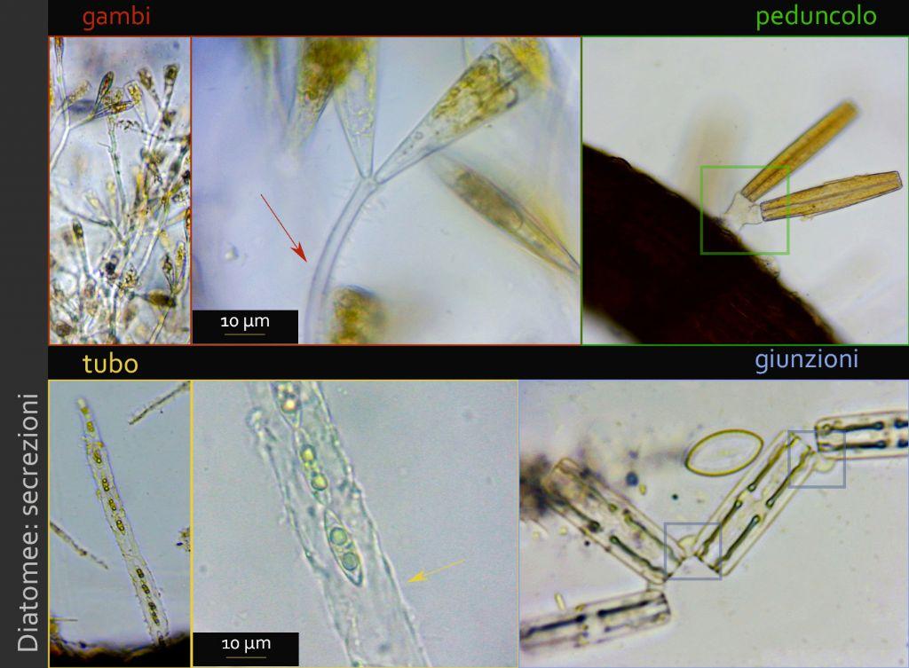 Diatomea epifita epifitata?