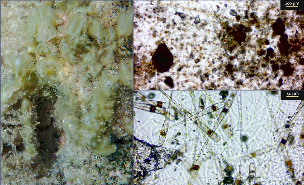 Alga tappezzante.. può produrre effetti su poriferi?