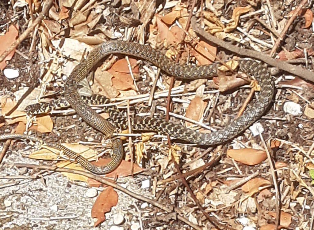 Biacco (Herophis viridiflavus)