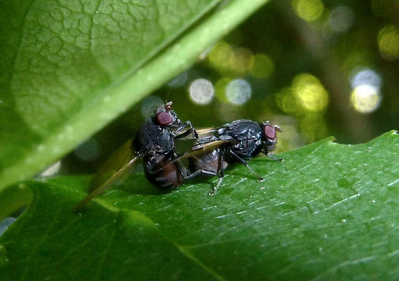 Accoppiamento mignon: Minettia longipennis