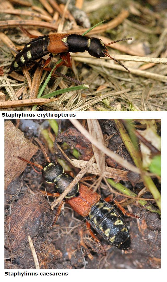 Staphylinidae da id. - Staphylinus erythropterus