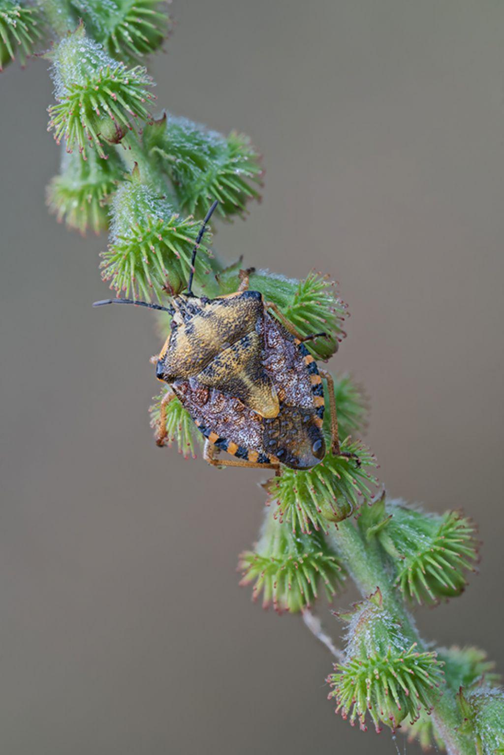Pentatomidae: Carpocoris pudicus