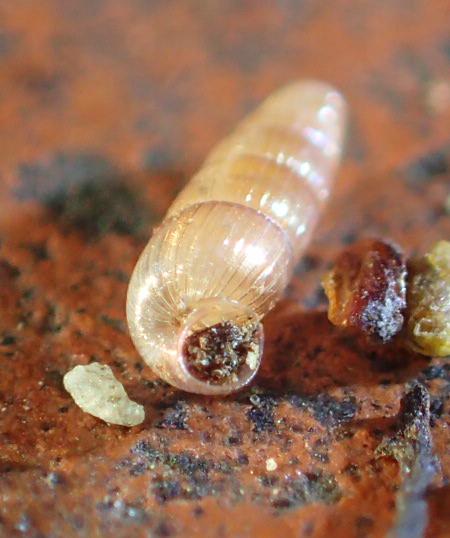 Aciculidae