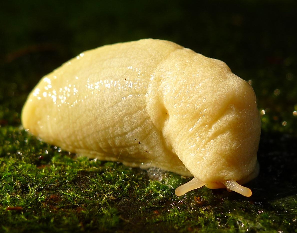Tandonia albina?