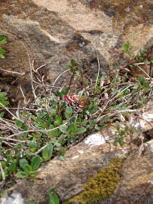 Aiuto ID farfalla notturna: Pyrausta ostrinalis? Sì