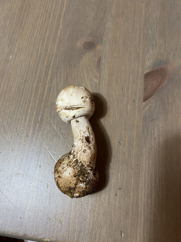 Agaricus sp.?