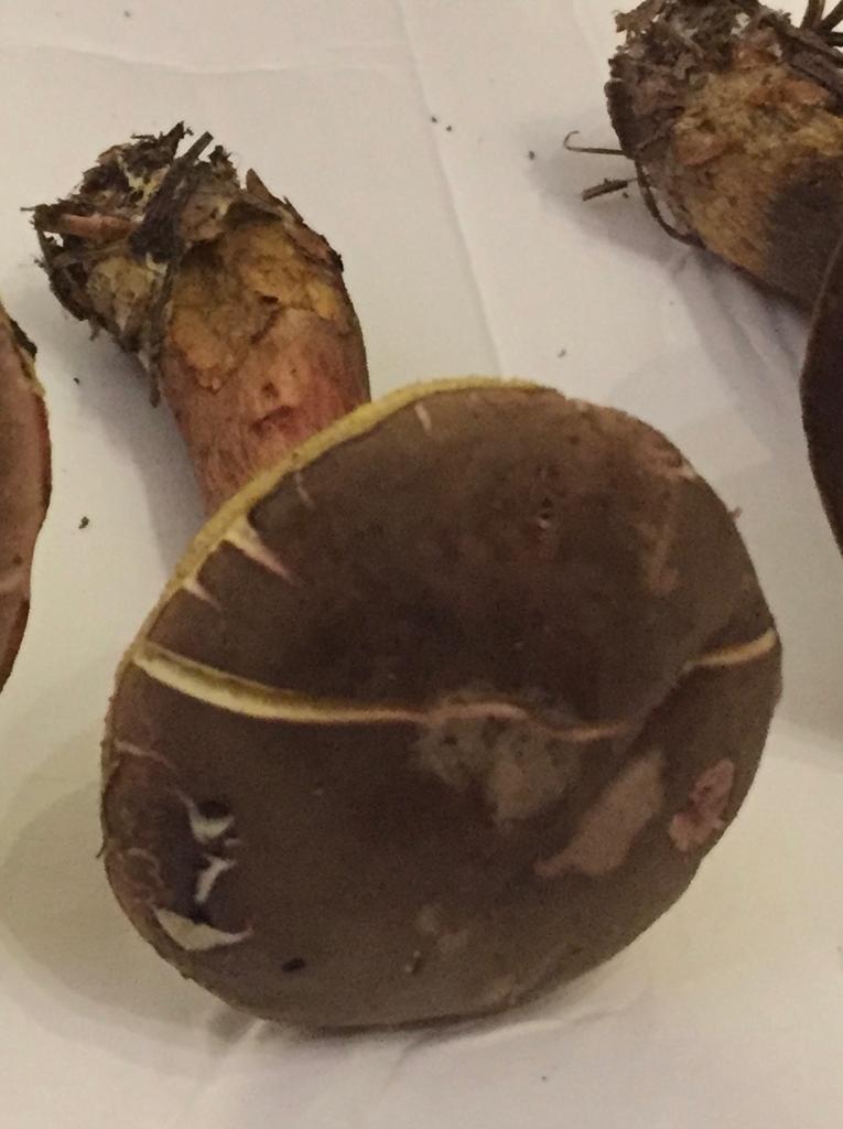 Xerocomus ferrugineus?