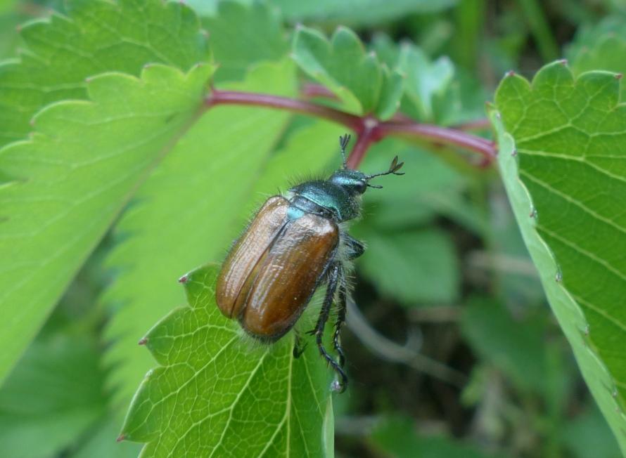 Rutelidae: Phyllopertha horticola
