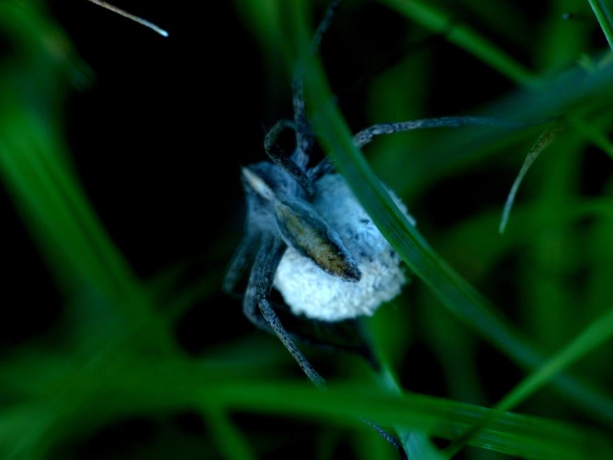 Ragno con ooteca: Pisaura cfr. mirabilis - Limone P.te (CN)