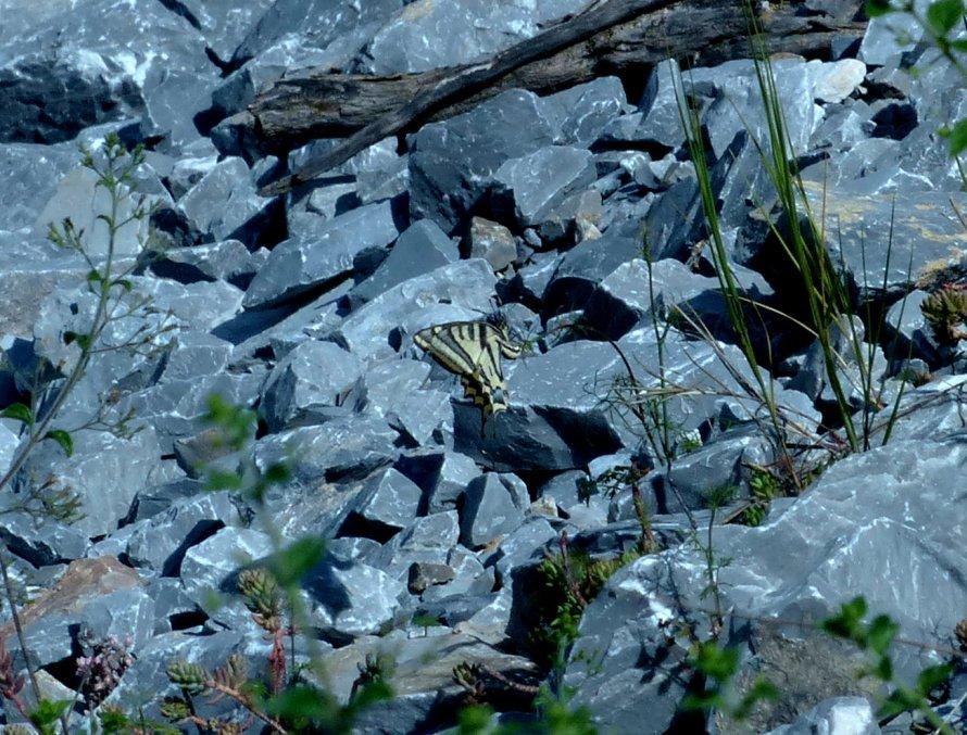 Papilio alexanor? Sì,femmina
