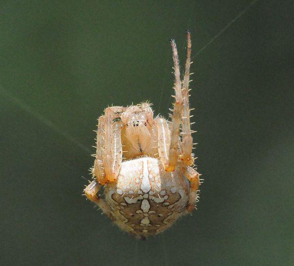 Pisaura cfr. mirabilis, Araneus diadematus e Argiope bruennichi - Pogno (NO)