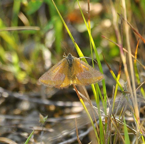 Lepidottero da identificare - Lythria cruentaria, Geometridae