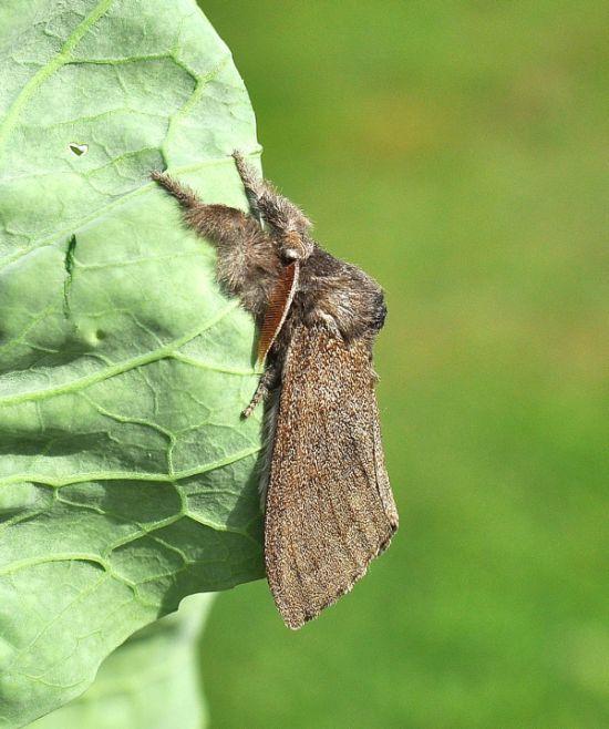 Si può capire chi è? Calliteara pudibunda, Erebidae Lymantriinae