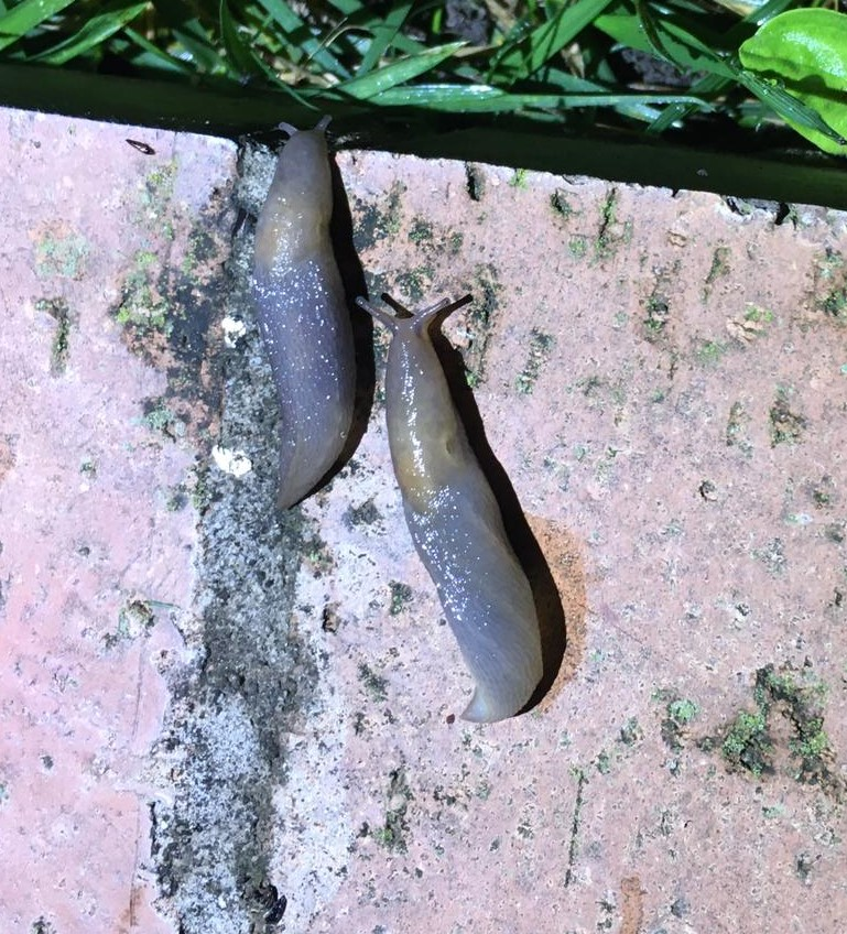 Riconoscimento lumache
