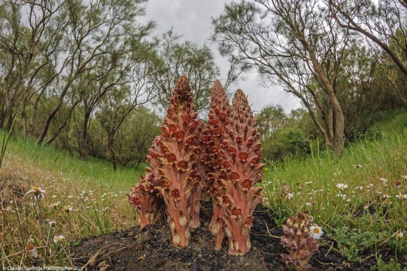 Orobanche rapum-genistae