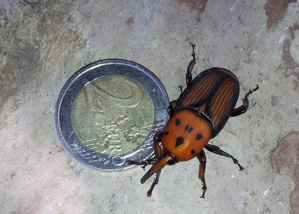 Curculionidae punteruolo rosso rhynchophorus - Punteruolo rosso in casa ...