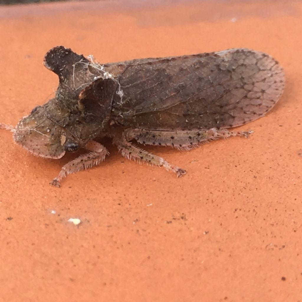 Cicadellidae:  Ledra aurita