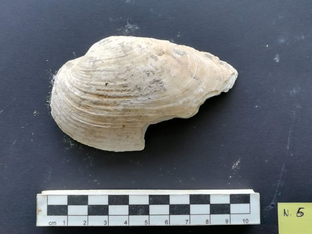 Bivalve da determinare