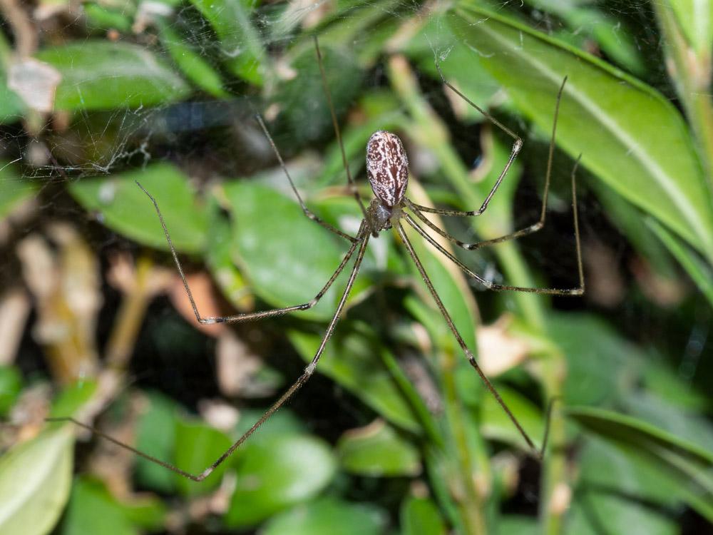 Holocnemus pluchei - Scansano (GR)