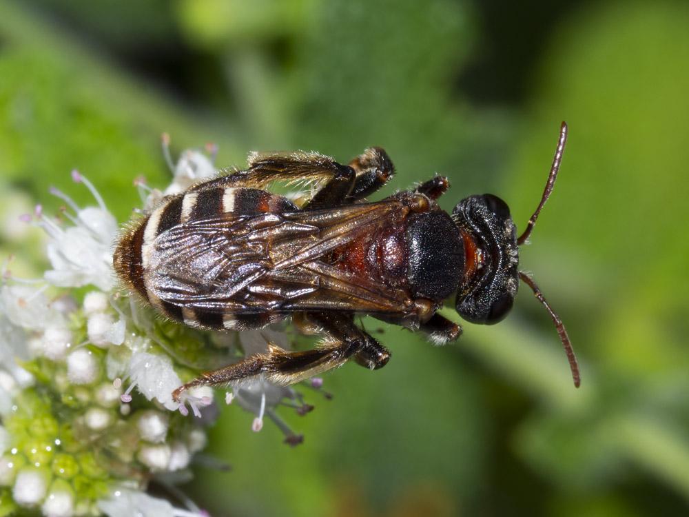 Andrena sp. (cfr.)