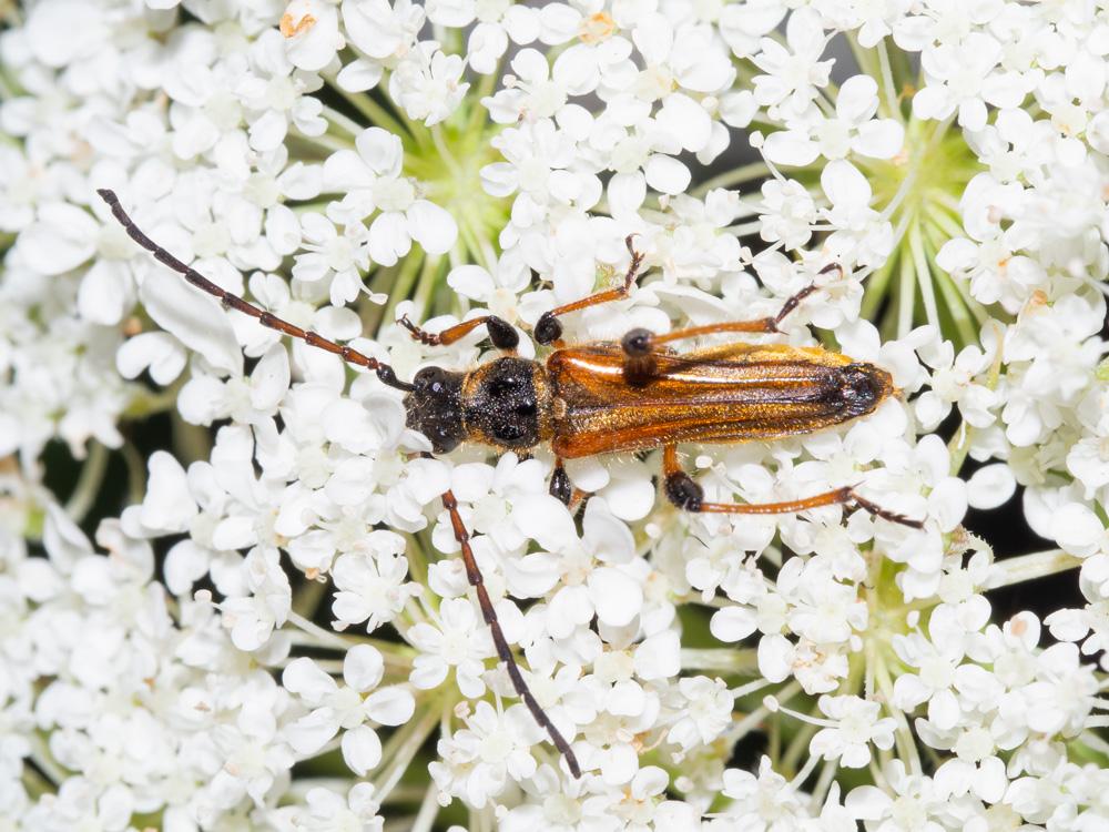 Oedemera podagrariae? No, cerambycidae: Stenopterus ater, maschio