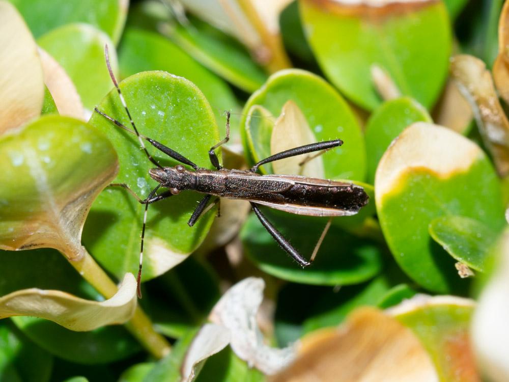 Alydidae: Micrelytra fossularum