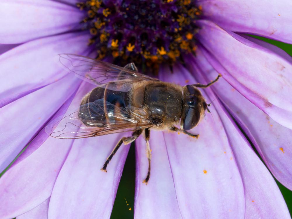 Syrphidae:  Eristalis tenax, femmina