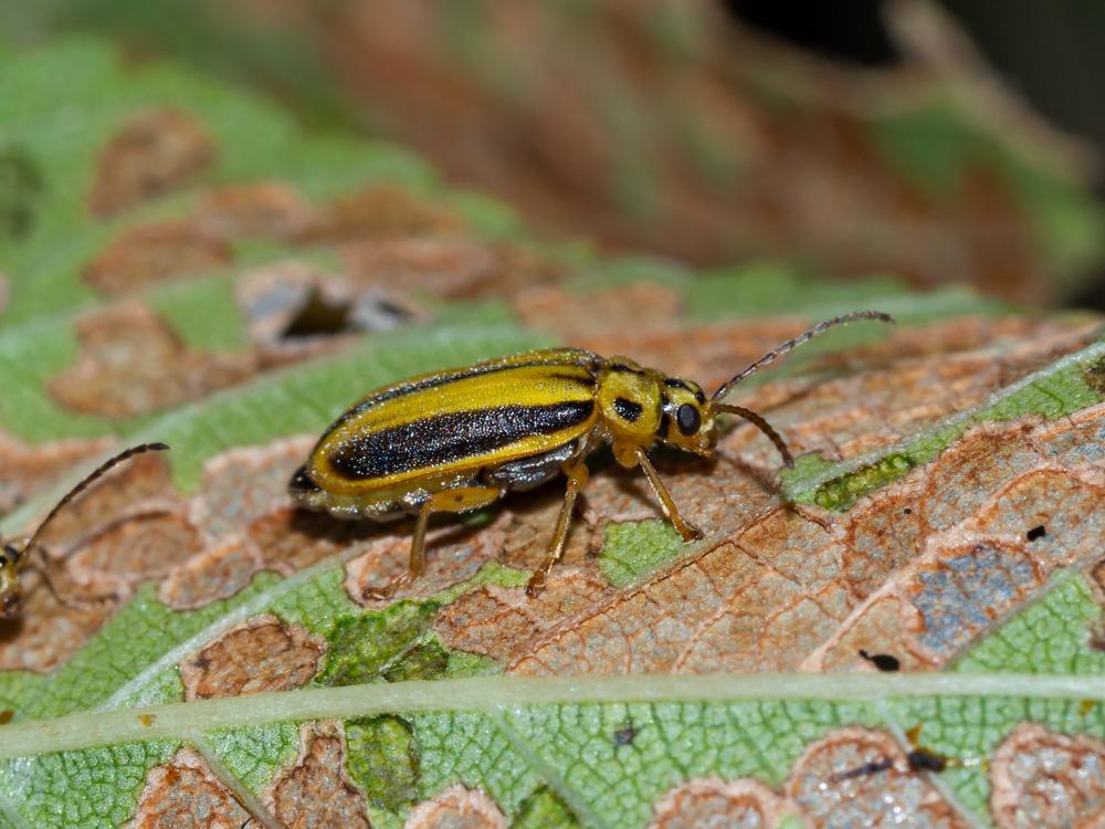 Chrysomelidae: Xanthogaleruca luteola