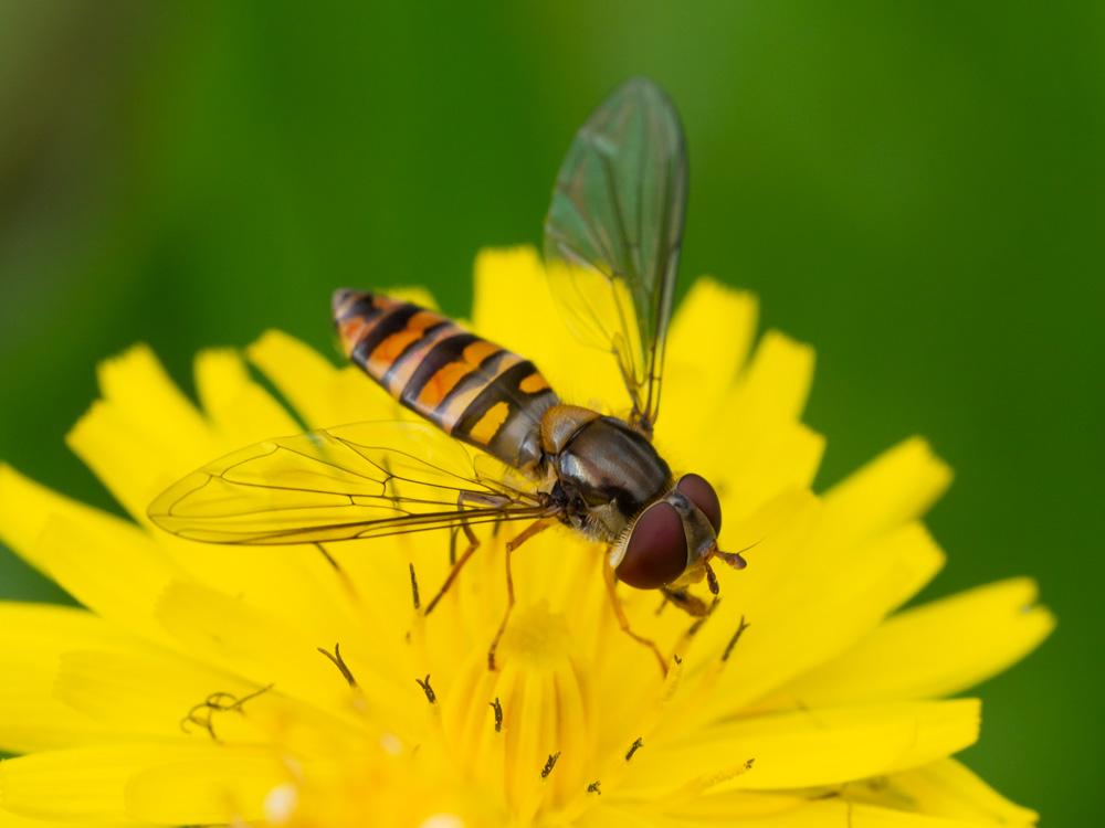 Syrphidae: Episyrphus balteatus, femmina