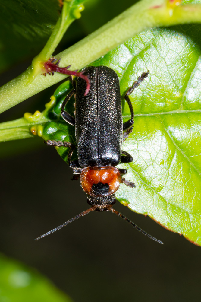 Cantharidae: Cantharis fusca